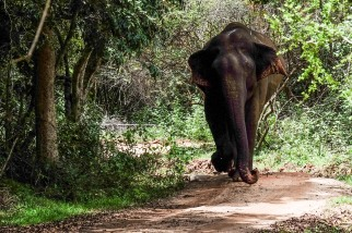 elephant-minneriya-national-park