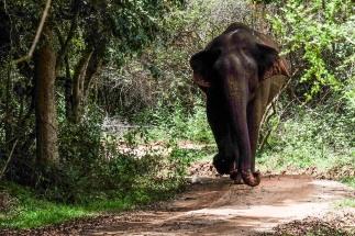 Elephant at Minneriya national park, Sri Lanka