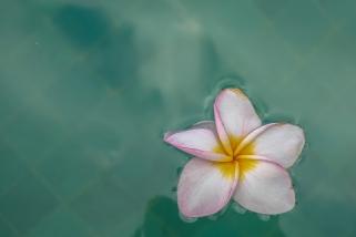 floating-plumeria