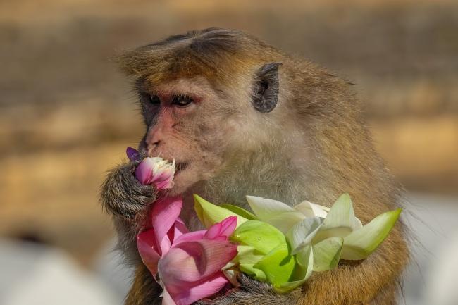 Lotus eating monkey, Kandy, Sri Lanka