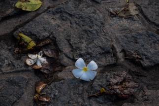 Frangipani in Polonnaruwa, Sri Lanka