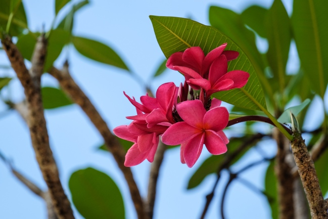 Red Frangipani or plumeria blossoming