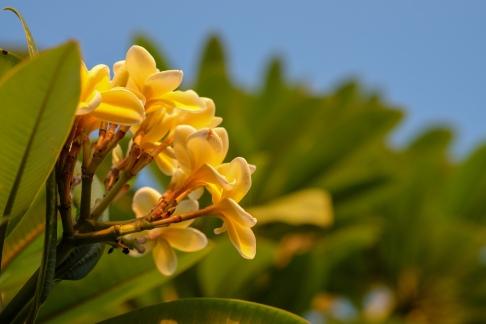 Yellow plumeria frangipani, Sri Lanka