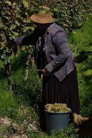 grape-harvest-kakheti