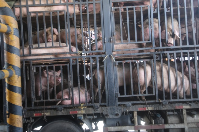 pigs-transport-china