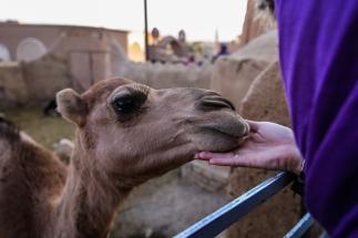 Garmeh Ateshooni Traditional House Camel-1
