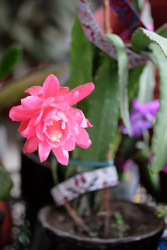 Cactus Siob market Samarkand-0604