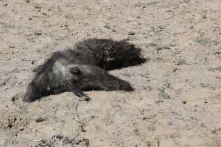 Dead goat Bushkazi Kyrgyzstan-5995