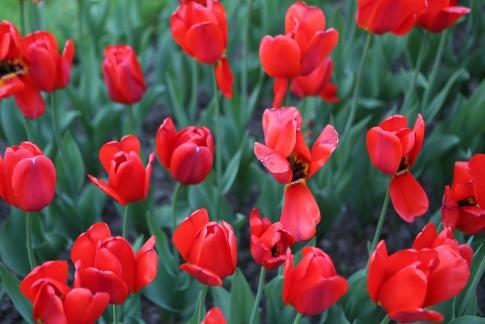 Tulips Almaty-5881